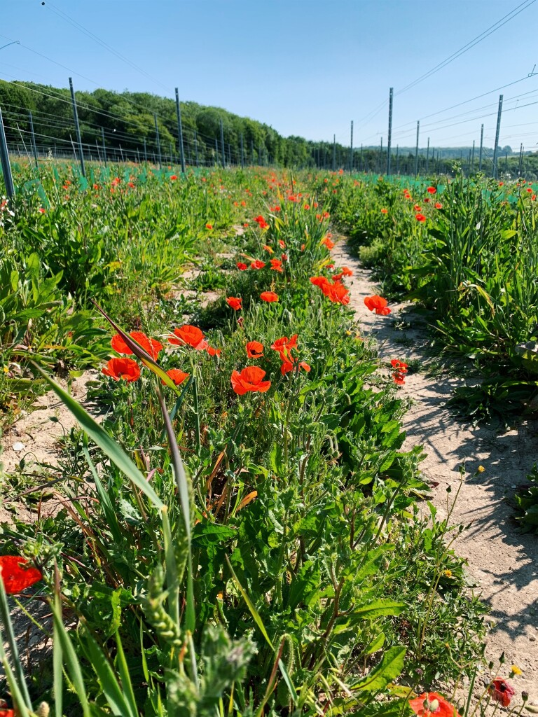 Field poppies running up the middle of the path through a vineyard